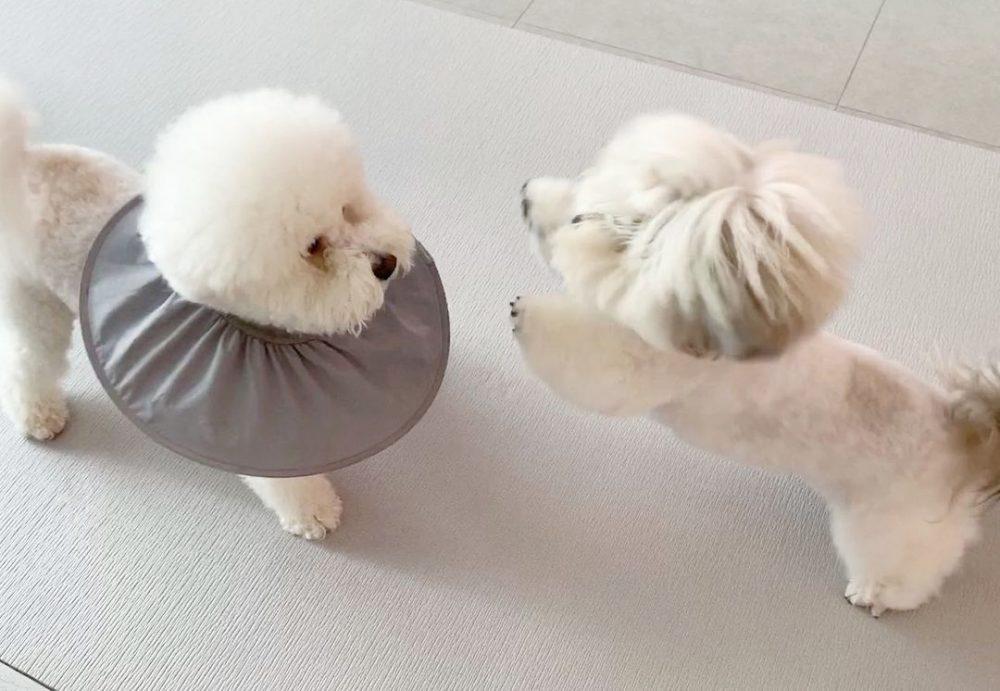 論髮型的重要性!萌汪剪髮被玩壞,撞臉衣夫人、川普、消波塊