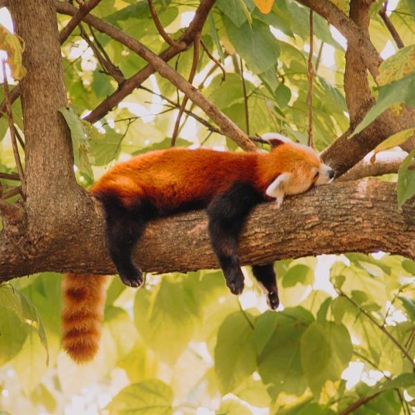 【心理測驗】哪隻小熊貓的睡姿最能療癒你?精準測出你的心理狀況!