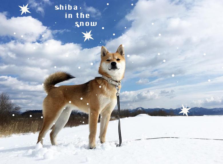 明明是柴犬卻有裴勇俊的影子在!別說了,這根本柴版冬季戀歌吧~