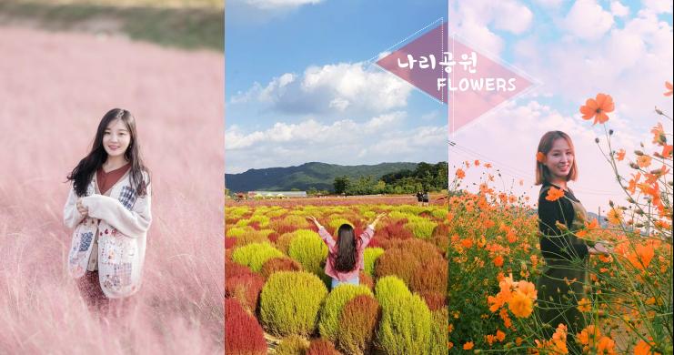 隨手一拍就是「人生寫真」!秋季絕美花景就在韓國楊州Nari公園~